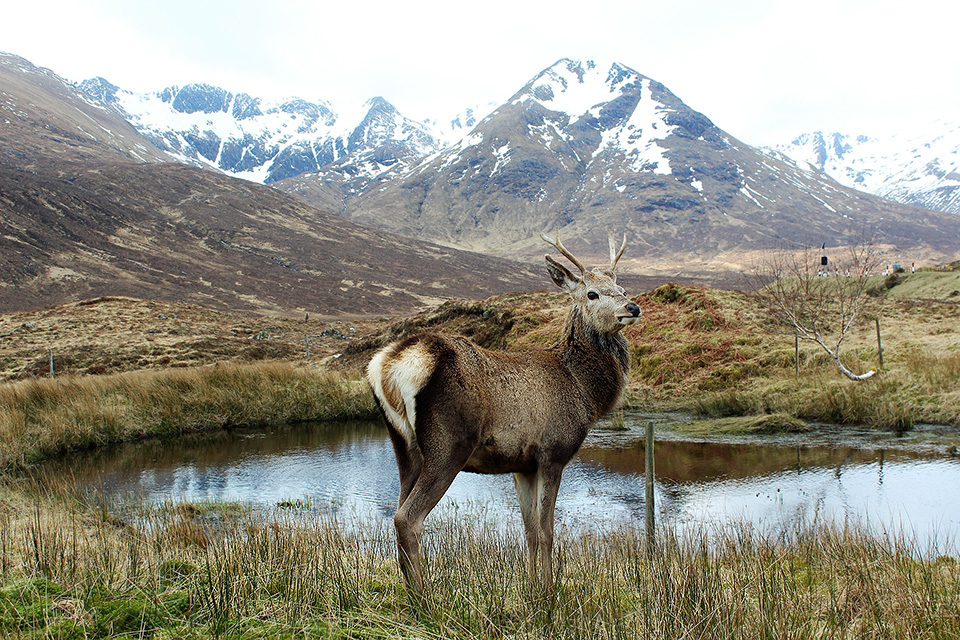 Red deer in the Scottish Higlands